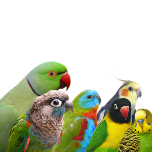 Parakeets and small parrots