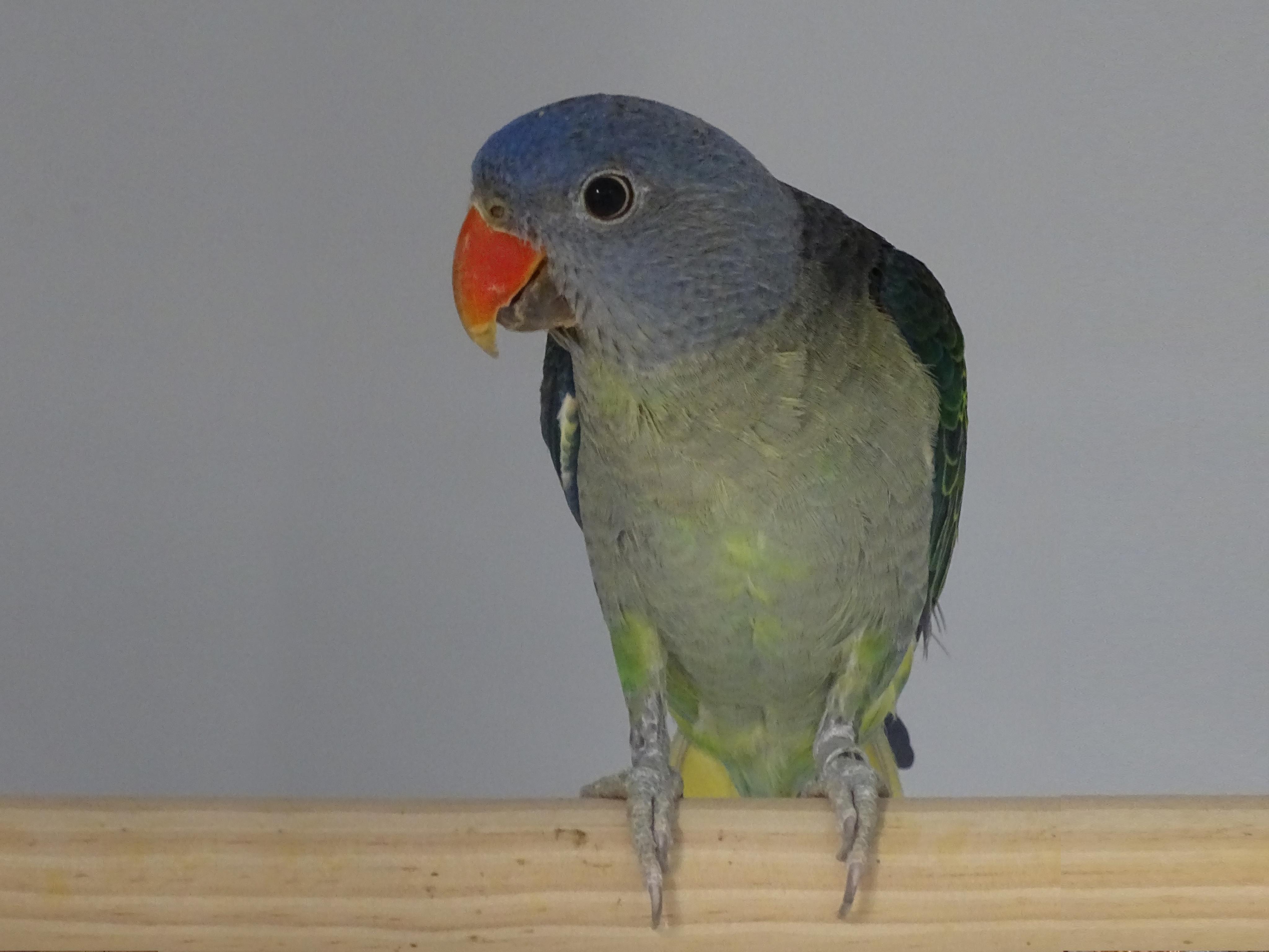 Blue rumped parrot male Psittinus cyanurus